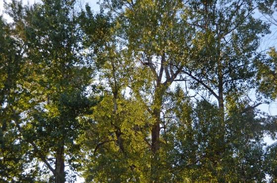 Cottonwoods