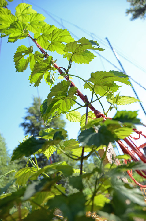 Hops from below