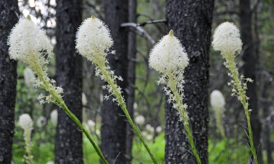 Beargrass 1