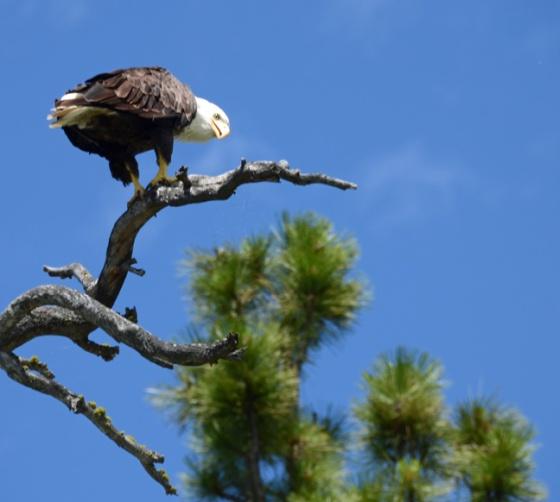 Eagle hi there